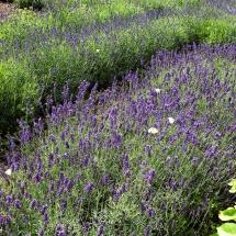 Lavendel med sommerfugle